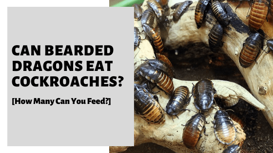 Can Bearded Dragons Eat Cockroaches? [How Many Can You Feed?]