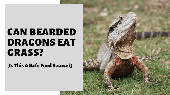 Can Bearded Dragons Eat Grass? [Is This A Safe Food Source?]