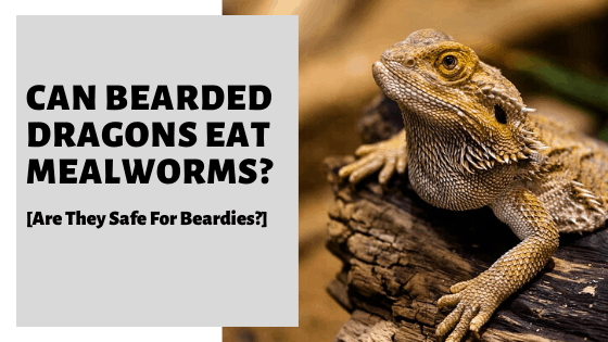 Can Bearded Dragons Eat Mealworms [Are They Safe For Beardies?]