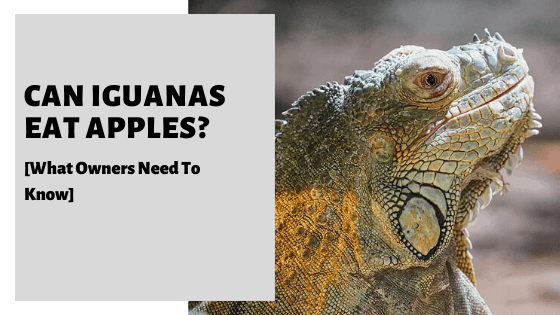 Can Iguanas Eat Apples? [What Owners Need To Know]