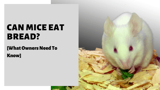 Can Mice Eat Bread? [Is It Safe And Should We Feed It?]