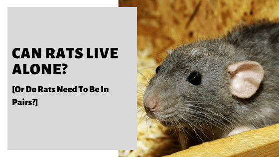 Can Rats Live Alone? [Or Do Rats Need To Be In Pairs?]