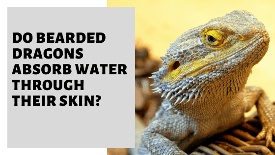Do Bearded Dragons Absorb Water Through Their Skin?