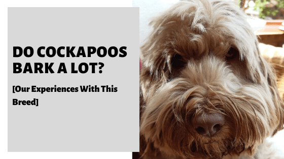 Do Cockapoos Bark A Lot? [Our Experiences With This Breed]