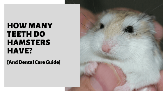 How Many Teeth Do Hamsters Have? [And Dental Care Guide]
