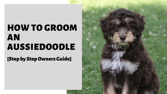 How To Groom An Aussiedoodle [Step by Step Owners Guide]