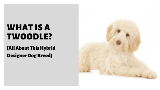 What Is A Twoodle? [All About This Hybrid Designer Dog Breed]
