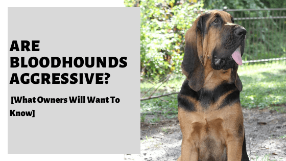 Are Bloodhounds Aggressive? [What Owners Will Want To Know]