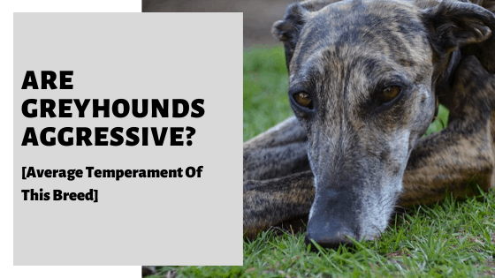 Are Greyhounds Aggressive? [Average Temperament Of This Breed]