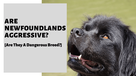 Are Newfoundlands Aggressive [Are They A Protective Breed?]