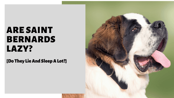 Are Saint Bernards Lazy? [Do They Lay And Sleep A Lot?]