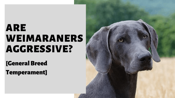 Are Weimaraners Aggressive_ [General Breed Temperament] (1)