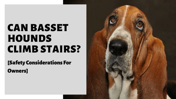 Can Basset Hounds Climb Stairs_ [Safety Considerations For Owners]