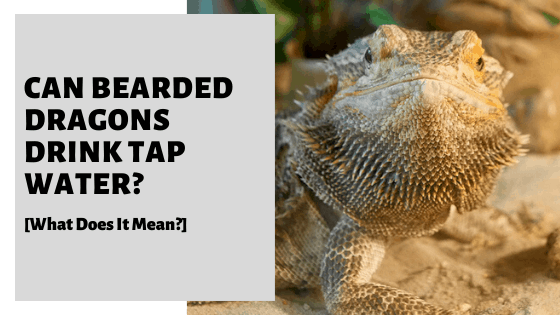 Can Bearded Dragons Drink Tap Water? [Is It Safe For Them?]