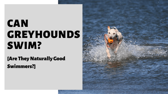 Can Greyhounds Swim? [Are They Naturally Good Swimmers?]