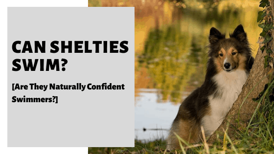 Can Shelties Swim? [Are They Naturally Confident Swimmers_]