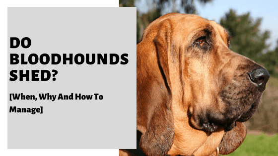 Do Bloodhounds Shed? [When, Why And How To Manage]