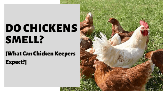 Do Chickens Smell? [What Can Chicken Keepers Expect?]