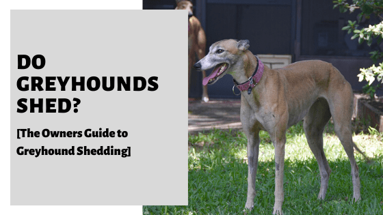 Do Greyhounds Shed? [The Owners Guide to Greyhound Shedding]