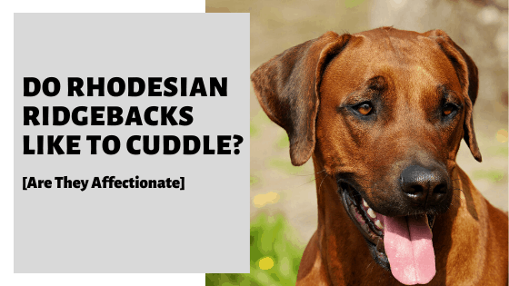 Do Rhodesian Ridgebacks Like To Cuddle? [Are They Affectionate]