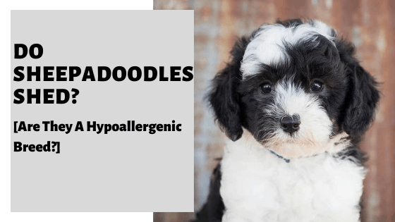 Do Sheepadoodles Shed? [Are They A Hypoallergenic Breed?]