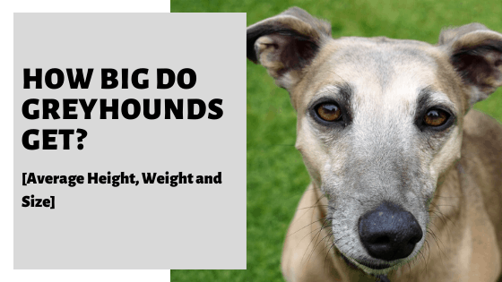 How Big Do Greyhounds Get_ [Average Height, Weight and Size] (1)