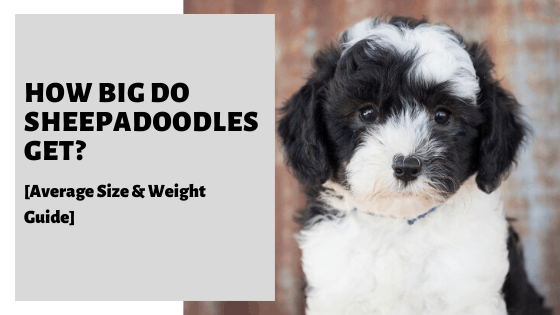 How Big Do Sheepadoodles Get? [Average Size & Weight Guide]