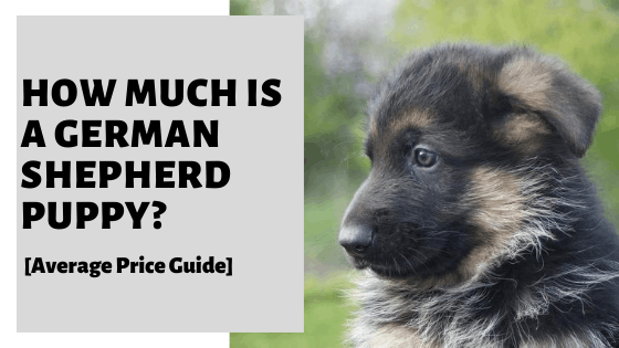 How Much Is A German Shepherd Puppy? [Average Price Guide]