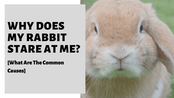 Why Does My Rabbit Stare At Me? [What Are The Common Causes]