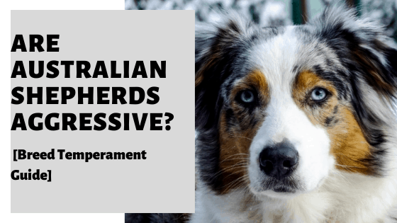 Are Australian Shepherds Aggressive?[Breed Temperament Guide]