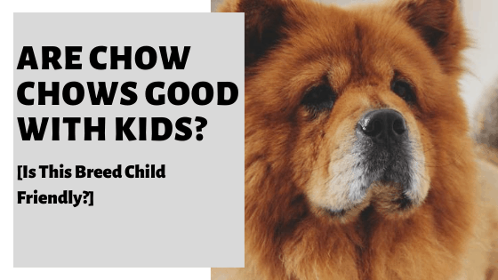 Are Chow Chows Good With Kids? [Is This Breed Child Friendly?]