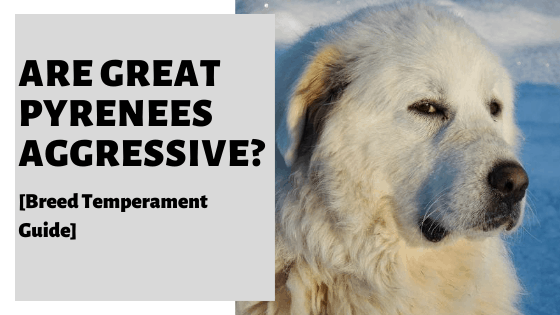 Are Great Pyrenees Aggressive? [Breed Temperament Guide]