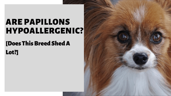 Are Papillons Hypoallergenic? [Does This Breed Shed A Lot?]