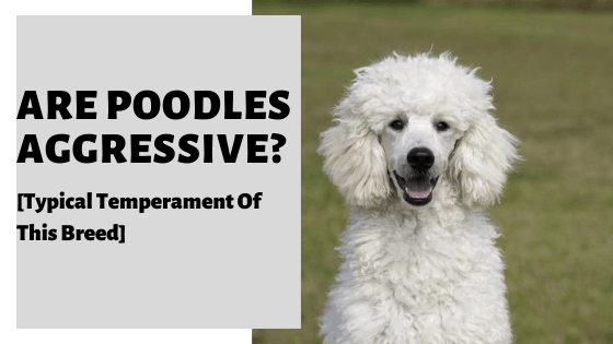 Are Poodles Aggressive? [Typical Temperament Of This Breed]