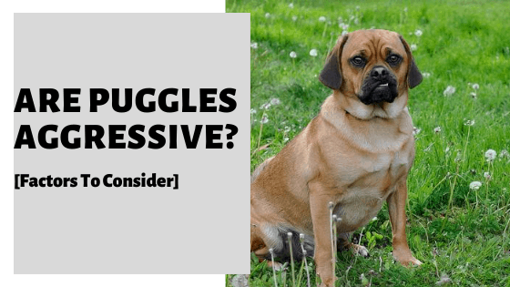 Are Puggles Aggressive? [Triggers And Prevention Strategies]