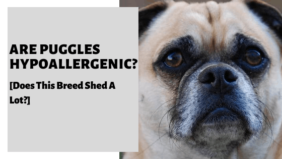 Are Puggles Hypoallergenic? [Does This Breed Shed A Lot?]