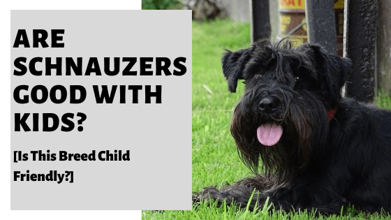 Are Schnauzers Good With Kids? [Is This Breed Child Friendly?]