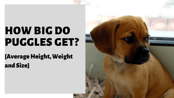 How Big Do Puggles Get? [Average Height, Weight and Size]