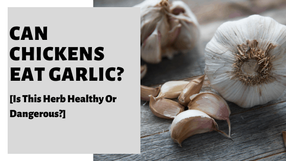 Can Chickens Eat Garlic? [Is This Herb Healthy Or Dangerous?]