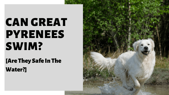 Can Great Pyrenees Swim? [Are They Safe In The Water?]