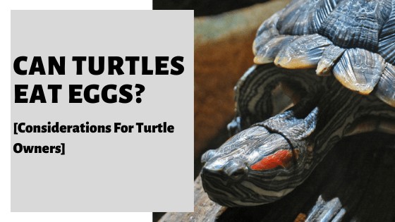Can Turtles Eat Eggs? [Considerations For Turtle Owners]