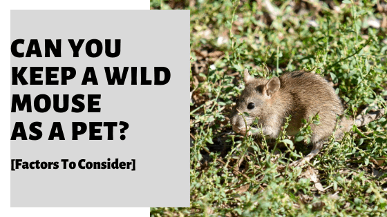 Can You Keep A Wild Mouse As A Pet? [Factors To Consider]