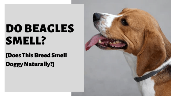 Do Beagles Smell? [Does This Breed Smell Doggy Naturally?]