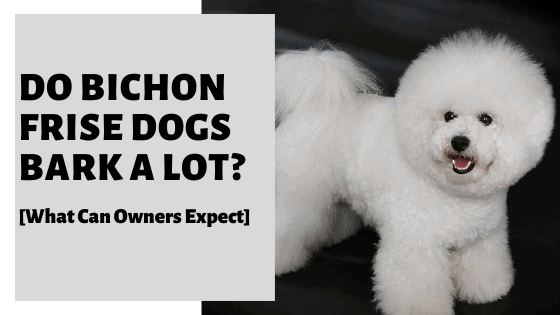 Do Bichon Frise Dogs Bark A Lot? [What Can Owners Expect]
