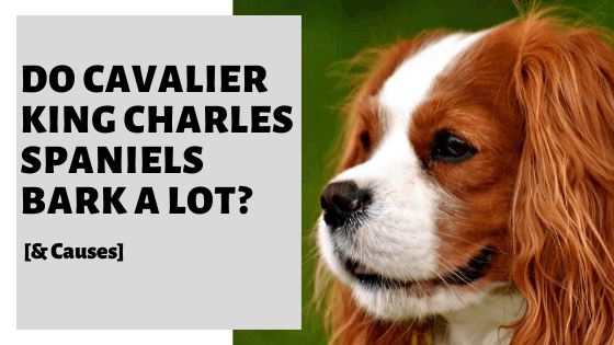 Do Cavalier King Charles Spaniels Bark A Lot? [& Causes]