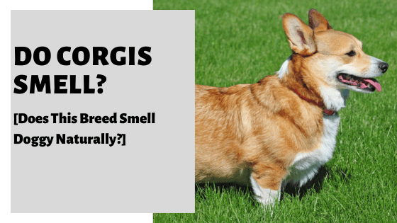 Do Corgis Smell? [Does This Breed Smell Doggy Naturally?]