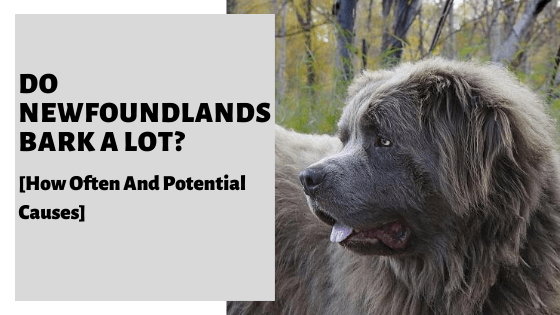Do Newfoundlands Bark A Lot? [How Often And Potential Causes]
