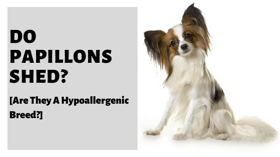 Do Papillons Shed? [Are They A Hypoallergenic Breed?]