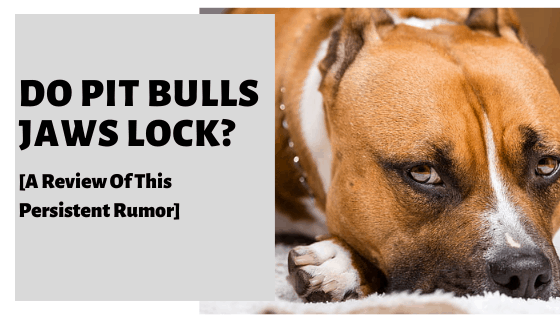Do Pit Bulls Jaws Lock? [A Review Of This Persistent Rumor]