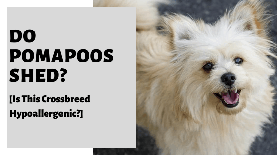 Do Pomapoos Shed? [Is This Crossbreed Hypoallergenic?]